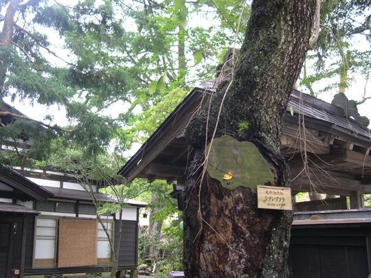카쿠노다테_천연기념물 시다레자쿠라